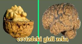 ceviz5